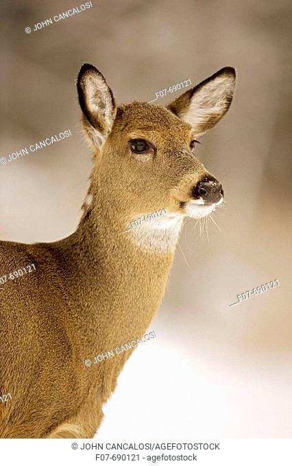 White-tailed Deer (Odocoileus virginianus). New York. Doe. In the snow. Found over much of the U.S. southern Canada and Mexico and introduced elsewhere in the...