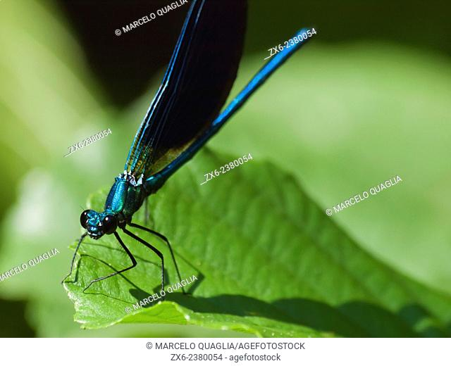Damselfly Beautiful Demoiselle (Calopteryx virgo) at Tordera river. Montseny Natural Park. Barcelona province, Catalonia, Spain