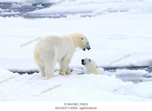 Adult female polar bears (Ursus maritimus) interacting on the sea ice, Svalbard Archipelago, Arctic Norway