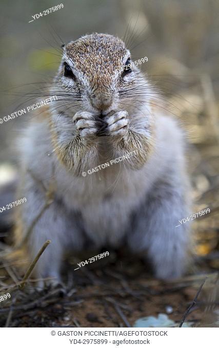 Ground squirrel (Xerus inauris) Kgalagadi Transfrontier Park, Kalahari desert, South Africa