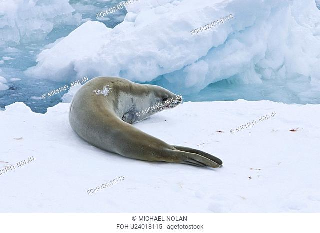 Adult crabeater seal Lobodon carcinophaga hauled out on an ice floe near Petermann Island near the Antarctic Peninsula. This is the most abundant pinniped in...