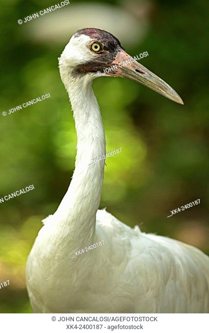 Whooping Crane (Grus americana), endangered species, captive