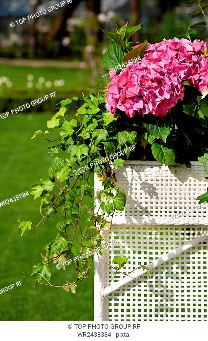 Hydrangea or hortensia blooming and ivy plant called Hedera helix grow in white plastic box in ornamental garden, Poland