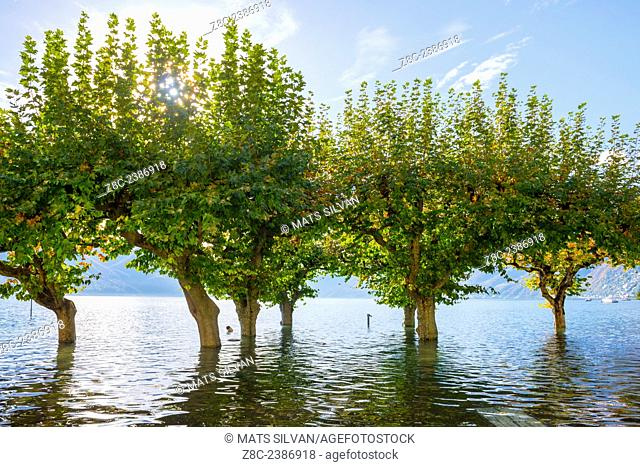 Flooding alpine lake Maggiore with trees in a sunny day with blue sky in Ascona, Switzerland
