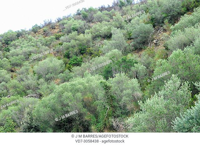 Wild olive (Olea europaea sylvestris or Olea europaea oleaster) is a shrub or small tree native to Mediterranean Basin. This photo was taken in Rabos d'Emporda