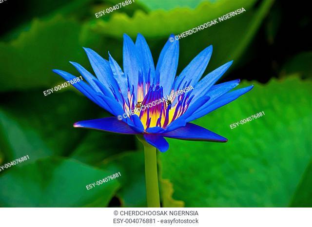 beautiful and vivid color of lotus
