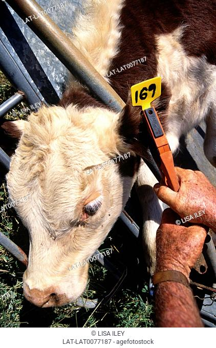 Livestock such as beef and dairy cows are generally identified by an ear tag,put on when they are very young. Traceability is very important to secure the...