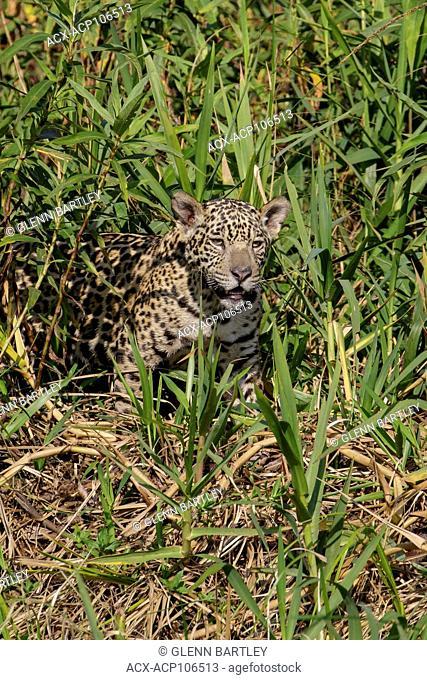 Jaguar in a wetland area in the Pantanal region of Brazil