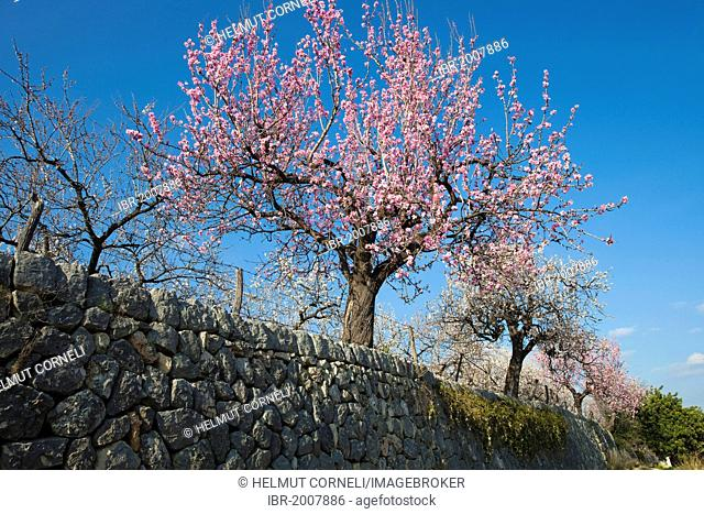 Blooming almond trees (Prunus dulcis) near Selva Serra de Tramuntana, Majorca, Balearic Islands, Spain, Europe