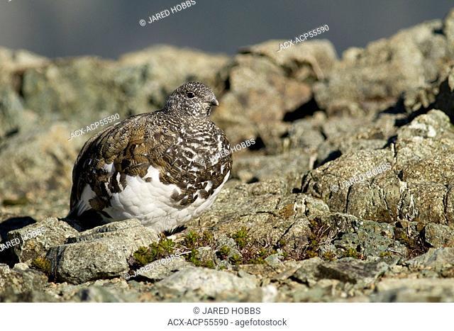 White-tailed Ptarmigan, Lagopus leucura, Strathcona PP, Vancouver Island, BC, Canada