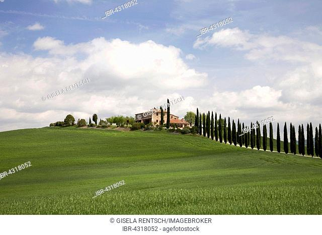 Cypress alley leads to a house near Castiglione d`Orcia, Tuscany, Italy