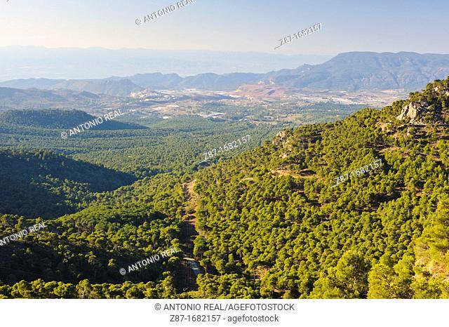 Pinos piñoneros o donceles Pinus pinea L Aledo  Parque Regional de Sierra Espuña  Murcia