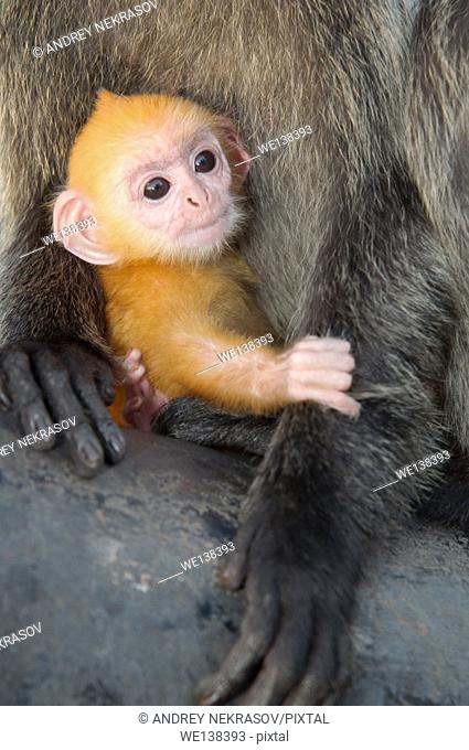 silvered leaf monkey, silvery langur or silvery lutung (Trachypithecus cristatus) baby golden color is sitting on her mother's arms. Malaysia