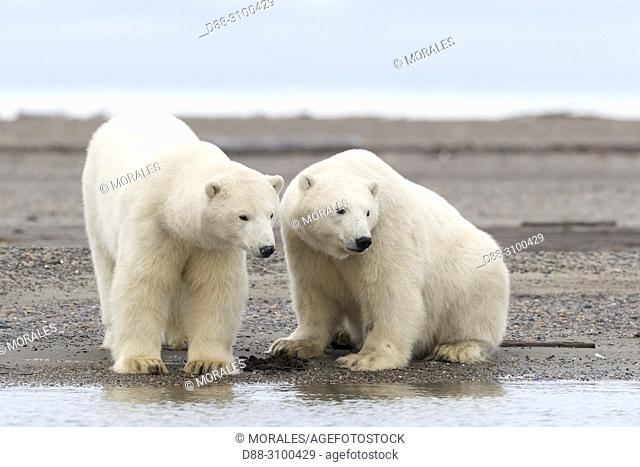 United States, Alaska, Arctic National Wildlife Refuge, Kaktovik, Polar Bear( Ursus maritimus ), Two youngs along a barrier island outside Kaktovik, Alaska