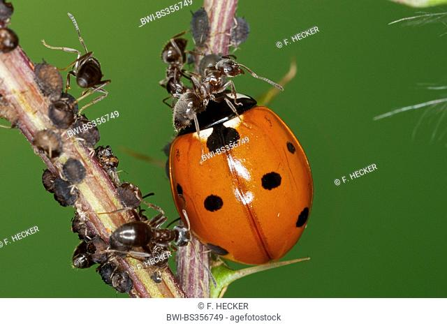 seven-spot ladybird, sevenspot ladybird, 7-spot ladybird (Coccinella septempunctata), ladybird feeding greenflies defended by an ant, Germany