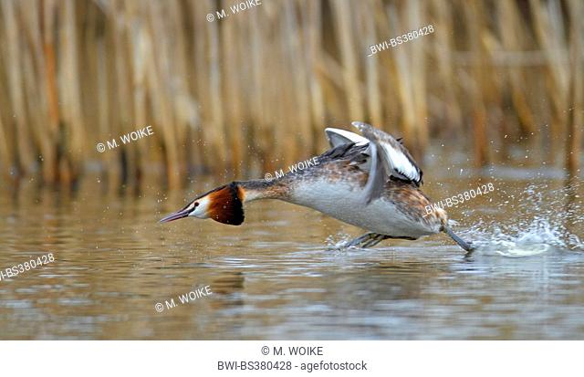 great crested grebe (Podiceps cristatus), flying off from the water, Netherlands, Frisia