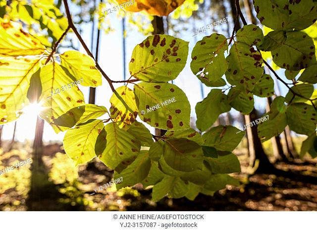 Decaying leaves of beech tree. Arnsberger Wald, North-Rhine-Westphalia, Germany