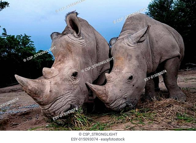 Two white rhinoceros are standing in this image