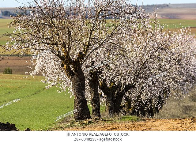 Almond trees in bloom and green sown fields. Corral Rubio. Albacete province. Spain