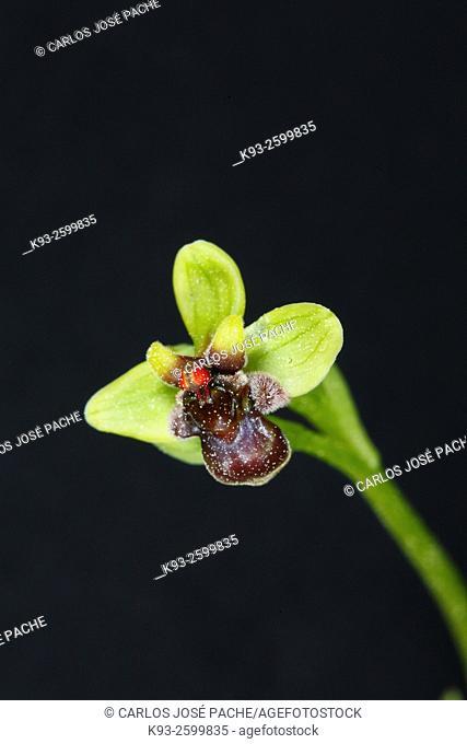 Bumblebee orchid (Ophrys bombyliflora), Serra de Tramuntana, Majorca, Balearic Islands, Spain