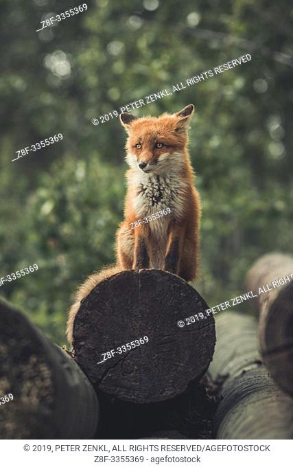 A young red fox (Vulpus vulpus) sits on a pile of logs and watches the forest edge. Yukon Territory, Canada