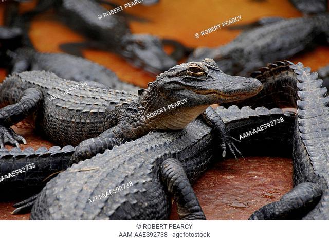Alligator (Alligator Mississippensis)