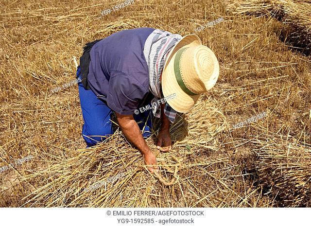 Farmer on a wheat field binding wheat