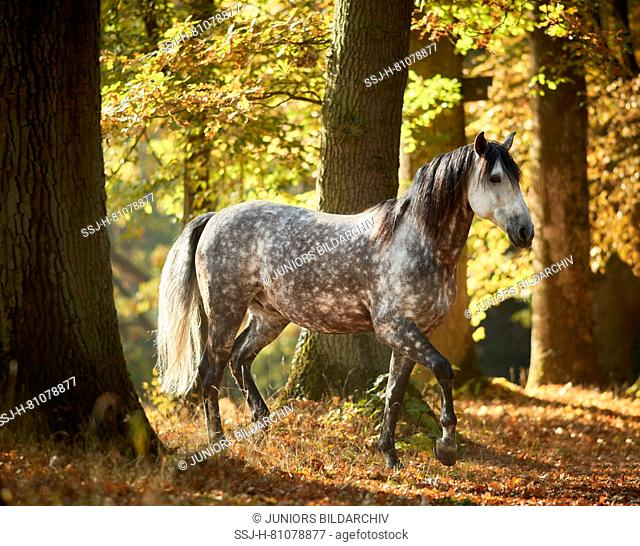 Pure Spanish Horse, Andalusian. Dappled grey adult walking in a forest in autumn. Germany