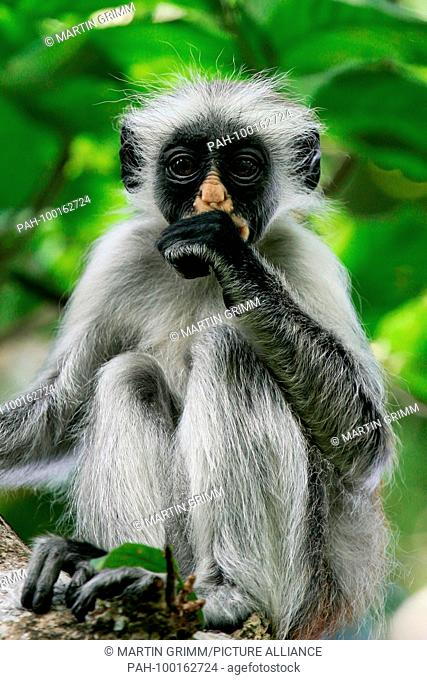 Zanzibar Red Colobus (Piliocolobus kirkii) young sucking on thumb, Jozani Chwaka Bay National Park, Zanzibar, Tanzania | usage worldwide