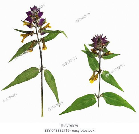 Pressed and dried flowers melampyrum nemorosum, isolated on white background. For use in scrapbooking, floristry or herbarium