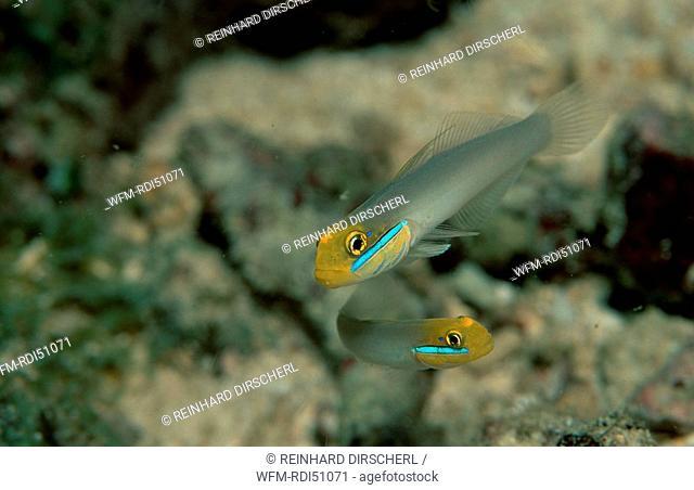 Bluestreak goby, Valenciennea strigata, Pacific ocean, Papua New Guinea