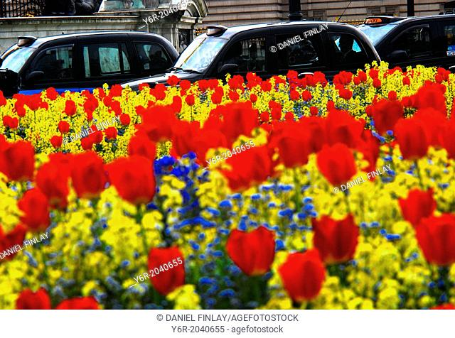 Traditional black taxis passing Spring tulips and other flowers in front of Buckingham Palace and the Victoria Memorial in London, England,