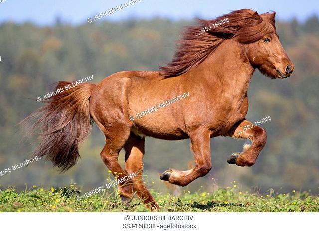 Icelandic Horse stallion