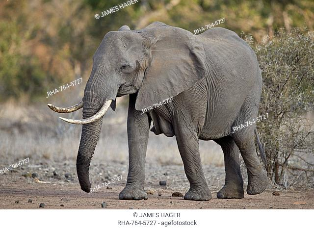African elephant (Loxodonta africana) adult female, Kruger National Park, South Africa, Africa