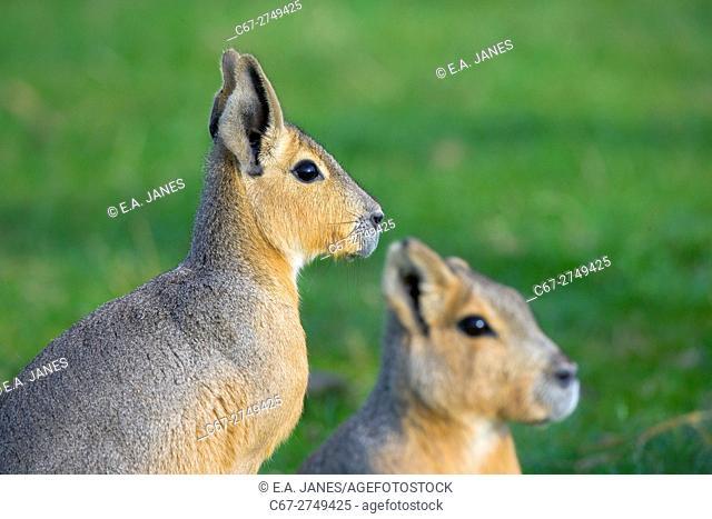 Mara Dolichotis patagonian male and female. Patagonia Agentina