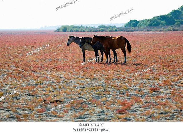 Spain, Donana National Park, Wild horses