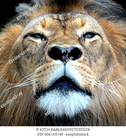 A close up shot of an African Lion