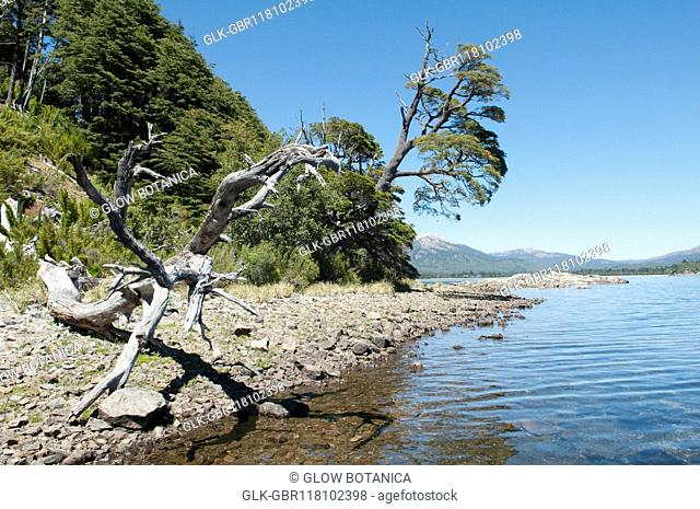 Dead tree at the lakeside, Moquehue Lake, Neuquen Province, Argentina