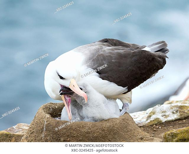 Adult feeding chick on tower shaped nest. Black-browed albatross or black-browed mollymawk (Thalassarche melanophris). South America, Falkland Islands, January