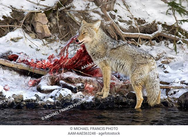 Coyote (Canis latrans) feeding on Elk (Cervus elaphus) carcass in winter snow Yellowstone National Park Wyoming