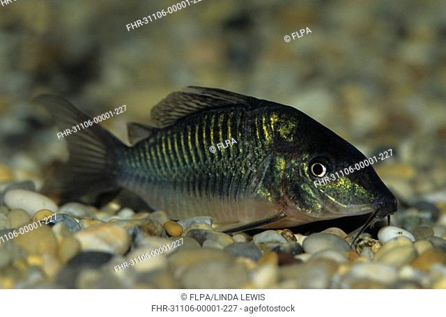 Emerald Catfish Brochis splendens Peaceful bottom dweller