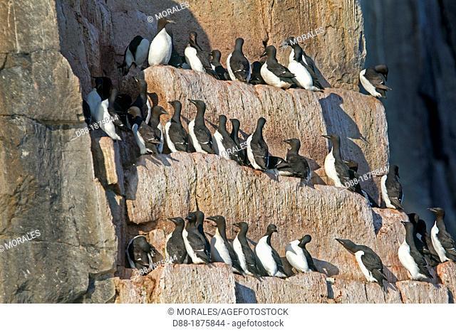 Norway , Spitzbergern , Svalbard , Hinlopenstretet , colony of Alkefjellet , Rocks , Bird colony, Thick-billed Murre or Brünnich's Guillemot Uria lomvia and...