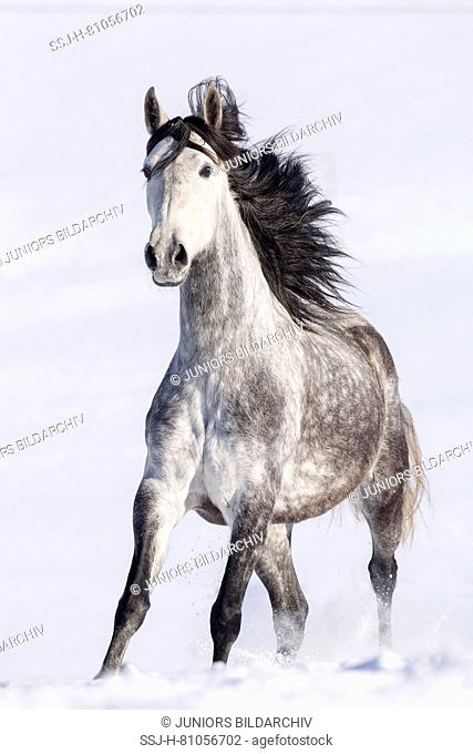 Pure Spanish Horse, Andalusian. Gray mare galloping in snow. Germany