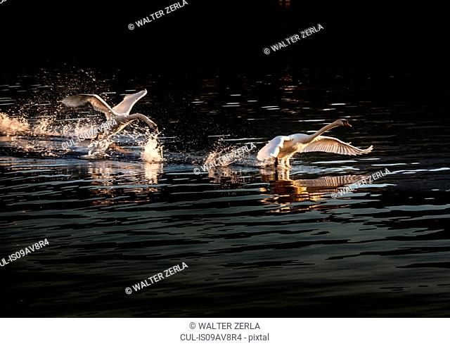 Swans taking flight, Lake Maggiore, Piedmont, Lombardy, Italy