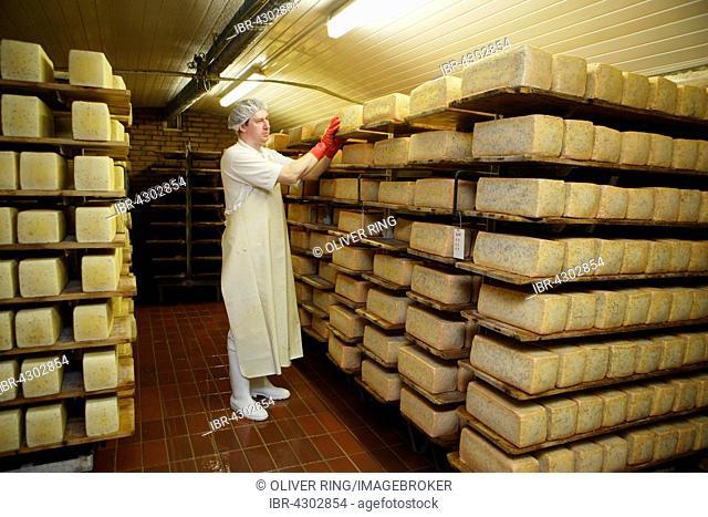 Dairy expert checking cheese on a shelf in the aging cellar of the Sarzbüttel fine cheese dairy, Sarzbüttel, Schleswig-Holstein, Germany, Düsseldorf