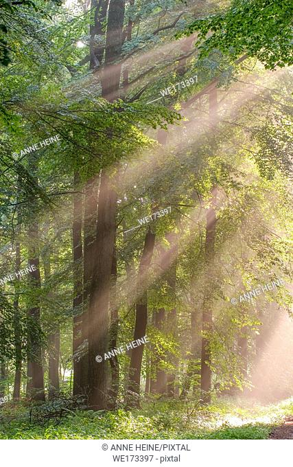 Light shining into the forest. Warstein-Belecke, Arnsberger Wald, Sauerland, Germany