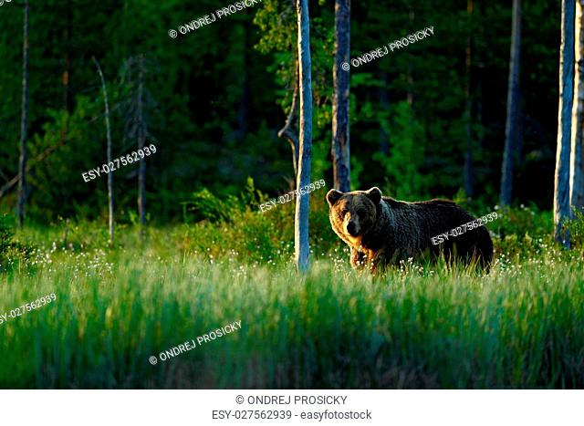 Big brown bear walking around lake in the morning sun. Dangerous