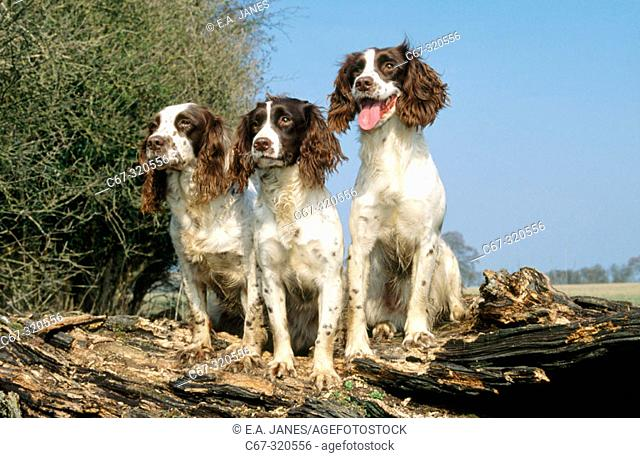 Working liver and white english springer spaniels