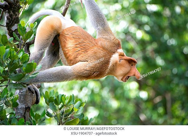 Dominant male proboscis monkey has a pendulous nose that covers the mouth, said to be sexually attractive to females possibly because it enhances vocalisations...