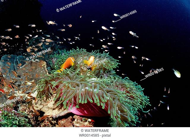 Maldive Anemonefishes in pink Magnificent Sea Anemone, Amphiprion nigripes, Heteractis magnifica, Indian Ocean, Maldives